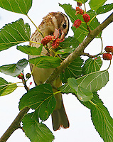 Adult female rose-breasted grosbeak eating mulberries