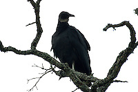 Black vulture in tree