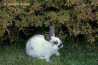 SH51-064x  Pet Rabbit - Dwarf