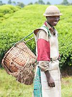 A tea picker at a plantation in Nyungwe National Park, Rwanda