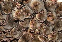 Schreibers' vleermuis (Meniopterus schreibersi) wnterslapende groep