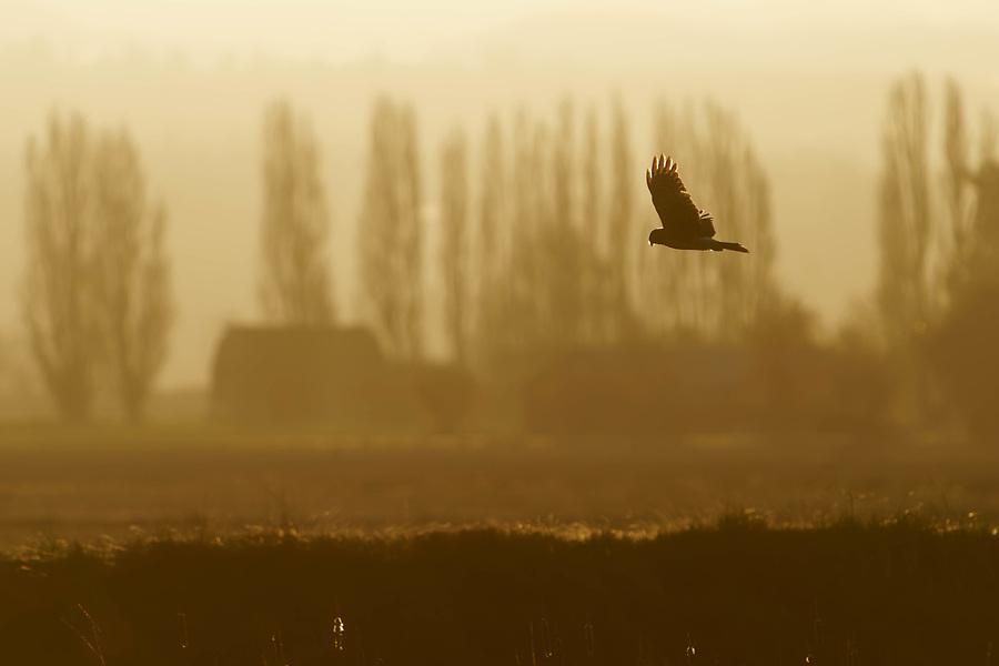 Northern harrier (Circus hudsonius) in flight hunting over farmland at sunrise, Fir Island, Washington, USA