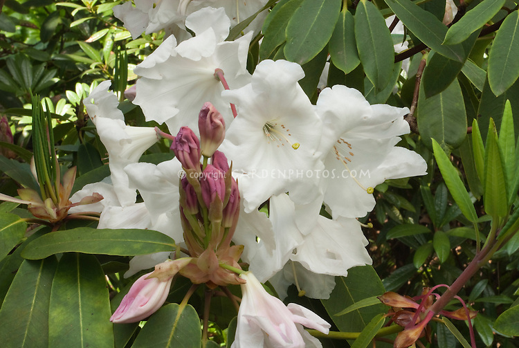 Rhododendron Loderi King George AGM in white flowers in spring