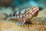 Anda, Bohol, Philippines; a lizardfish resting on an aggregation of brain coral
