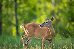 White-tailed doe in a summer field.