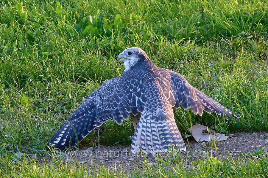 Gerfalke, Falco rusticolus x Lannerfalke, Falco biarmicus, Ger-Lannerfalke,  Hybridfalke, Falke, Falken, Fallknerei, Beizvogel, Beizjagd, Falkenbeize