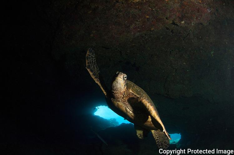 Green sea turtle inside the cave at Puuoalai Maui,Hawaii.