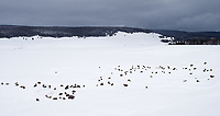A herd of bison digs through deep snows in search of food in Hayden Valley.