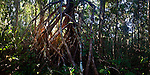 Tangled tree roots at sunrise in lowland rainforest. Masoala National Park, Madagascar. (digitally stitched image)
