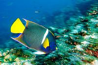 King Angelfish, Holacanthus passer, Galapagos Islands, Ecuador, Pacific Ocean