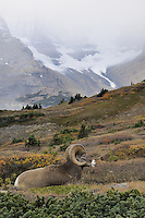 Bighorn Sheep Ram (Ovis canadensis) resting in subalpine meadow.  Northern Rockies.  Fall.