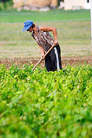 Woman women working the soil with a tool in the vineyard. Protecting her head against the scorching sun with a blue cap. Fidal vine nursery and winery, Zejmen, Lezhe. Albania, Balkan, Europe.