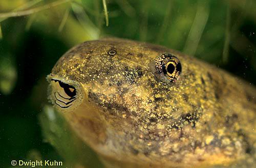 FR02-017x  Bull Frog - close-up of mouth of tadpole - Lithobates catesbeiana, formerly Rana catesbeiana