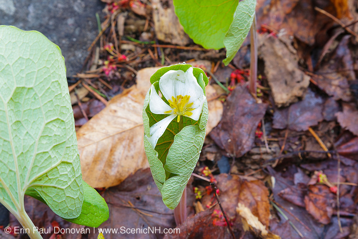 Bloodroot - Sanguinaria canadensis - during the spring months in a New England forest.