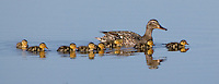 Mallard Duck swimming on a lake with her young