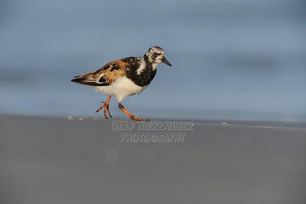 Ruddy Turnstone (Arenaria interpres), adult running, Port Aransas, Texas, USA