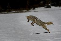 Coyote hunting, Yellowstone