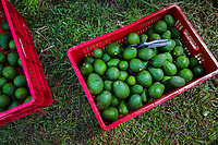 Crates of avocados are seen placed on the ground during a harvest at a plantation near Sonsón, Antioquia department, Colombia, 21 November 2019. Over the past decade, the Colombian avocado industry has experienced massive growth, both as a result of general economic development in Colombia, and the increased global demand for so-called superfood products. The geographical and climate conditions in Antioquia (high altitude, no seasonal extremes, high precipitation rate) allow two harvest windows of the Hass avocado variety across the year. Although the majority of the Colombian avocado exports are destined towards Europe now, Colombia aspires to become one of the major avocado suppliers to the U.S. market in the near future.