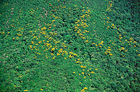 Trees with yellow flowers in rainforest on lower slopes of Mount Yavi, Guiana Highlands, Venezuela..