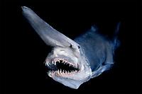goblin shark, Mitsukurina owstoni, specimen, captured and preserved in Japan, Pacific Ocean (digital composite)