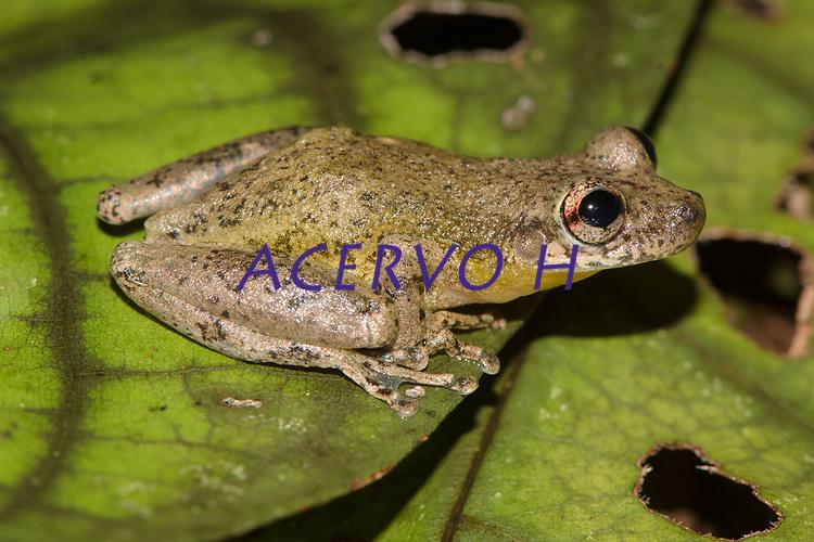 Espécie: Scinax sp.<br /> .<br /> .<br /> Imagem feita em 2017 durante expedição científica para a região do Lago Tefé, Tefé, Amazonas, Brasil. A expedição, financiada pelo  Conselho Nacional de Desenvolvimento Científico e Tecnológico, teve o abjetivo de reencontrar espécies de anfíbios descritas pelo explorador Johann Baptist von Spix no ano de 1824.