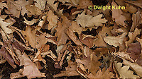 MU35-518z White-footed Mouse camouflaged in leaves on forest floor, Peromyscus leucopus