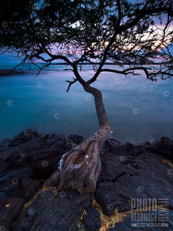 A kiawe tree grows out of the lava rock shoreline at Kiholo Bay, Big Island.
