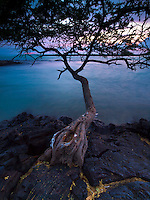 A kiawe tree grows out of the lava rock shoreline at Kiholo Bay, Big Island.