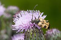 Gefleckter Blütenbock, Breiter Halsbock, Gefleckter Blütenhalsbock, Blütenbesuch, Pachytodes cerambyciformis, Judolia cerambyciformis, Judolia cerambyciformis, Speckled Longhorn Beetle
