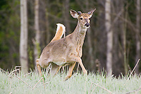White-tailed Deer buck trotting through frost covered grass
