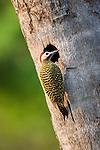 Green-banded Woodpecker (Chrysoptilus melanochloros) at entrance to nest hole. Araras Lodge, northern Pantanal, Mato Grosso, Brazil.