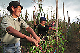Campesinos indigenas trabajan plantas de moras que sembraron con la cooperaticon de la empresa Lafarge en Otavalo, Ecuador