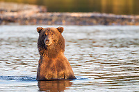Brown bear fishes for salmon by wading in the Brooks River, Katmai National Park, southwest, Alaska.
