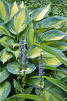 Hosta June with Salvia nemerosa 'Crystal Blue',  blue flowers