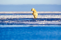 polar bear, Ursus maritimus, cub playing on the pack ice, 1002 area of the Arctic National Wildlife Refuge, Alaska, polar bear, Ursus maritimus