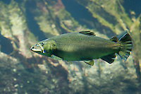 Meerforelle, Meer-Forelle, Forelle, Salmo trutta trutta, Salmo trutta, brown trout, sea trout, Atlantic trout, anadromer Wanderfisch, anadrom, anadromous
