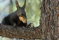 Kaibab Squirrel (Sciurus aberti Kaibabensis) with truffle it has found.