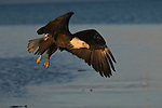 A bald eagle flying over the water in Homer, Alaska.