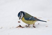 Blaumeise, an der Vogelfütterung, Fütterung im Winter bei Schnee, frisst Körner am Boden, Winterfütterung, Blau-Meise, Meise, Cyanistes caeruleus,  Parus caeruleus, blue tit