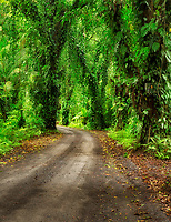 Tree covered dirt road. The Puna Coast, Hawaii.