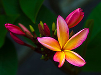 A close-up of a small cluster of pink and yellow plumeria flowers, Big Island.