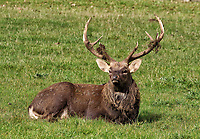 Manchurian Sika Deer at Woburn Deer Park in Bedfordshire at the start of the rutting season. Woburn, Bedfordshire, UK October 16th 2020<br /> <br /> Photo by Keith Mayhew