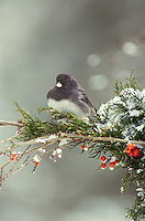 Dark eyed Junco, Junco hyemalis,perched on snow laden branch with native Holly berries,