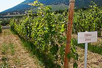 Vines. Zibico vine variety. Biblia Chora Winery, Kokkinohori, Kavala, Macedonia, Greece