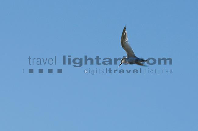 www.travel-lightart.com, ©Paul J. Trummer, Tern in flight over the coast of Novo Sancti Petri, Chiclana, Costa de la Luz, Cadiz, Andalucia, Spain, animalia, Aves, Fauna, gull, Lebewesen, Möwe, Möwen, Möwenvögel, Tier, Tierbild, Tierbilder, Tiere, Vertebrata, Warmblüter, Wasservögel, Watvögel, Wirbeltier, Wirbeltiere, animal, animals, bird, birds, gull bird, gull birds, living being, vertebrate, vertebrates, wader, warm blooded animals, warm blooded-animal, 7/4-062, Moewen, nature, Voegel, wildlife, Natur, Andalusia, Barrosa Beach, Chiclana de la Frontera, Andalusien, Barrosa, Barrosa Strand, Europa, Geografie, Küste des Lichts, Spanien, sea-gull, Seeschwalbe, Seeschwalben, Sternae, Sterninae, sternidae, tern, terns, Gulls, Sterna species