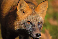 Red Fox - cross colour phase..Atumn. Minnesota..(Vulpes vulpes).