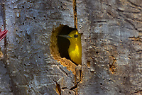 Male Prothonotary Warbler (Protonotaria citrea) in nest cavity in dead snag.  Great Lakes Region, May.