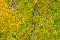 Cottonwood leaves showing autumn colors.