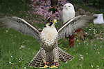 Part of the falconry display at the Arts Festival in Dominics park.Pic Fran Caffrey/Newsfile.ie
