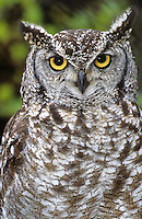 Fleckenuhu, Flecken-Uhu, Portrait, Bubo africanus, spotted eagle-owl